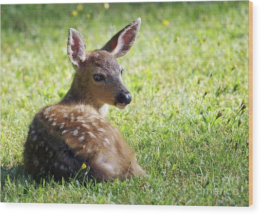 A Fawn On The Lawn Wood Print