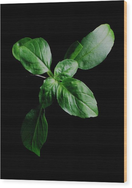 A Sprig Of Basil Wood Print