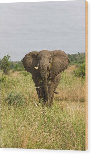 African Bush Elephant (loxodonta Wood Print