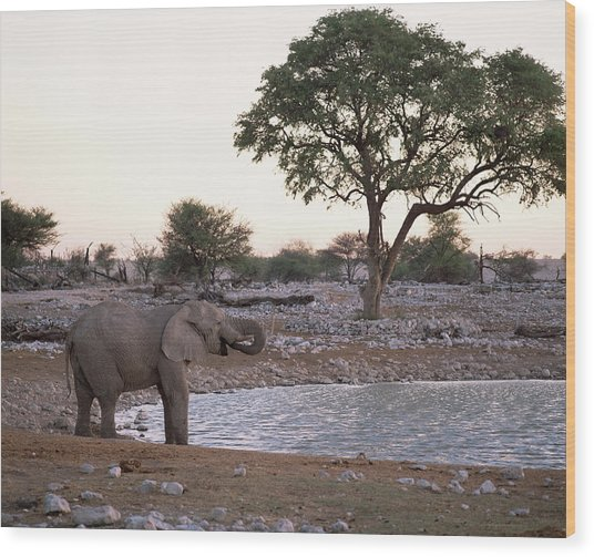 African Bush Elephant Wood Print