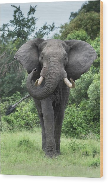 African Elephant Bull Wood Print