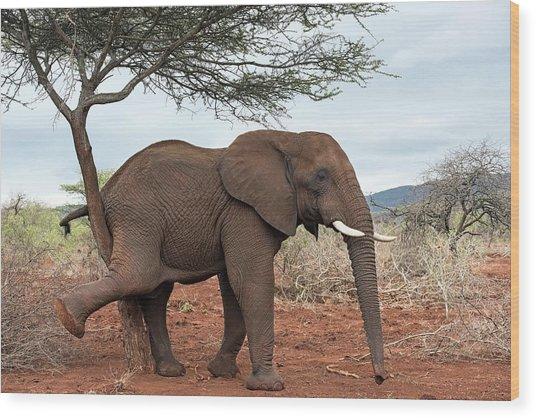 African Elephant Grooming Wood Print