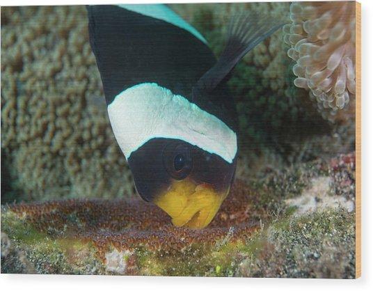 Anemonefish Guarding Eggs Wood Print