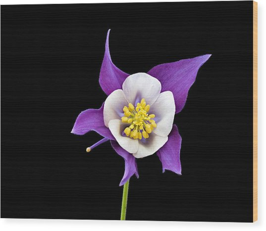 Aquilegia - Purple Wood Print