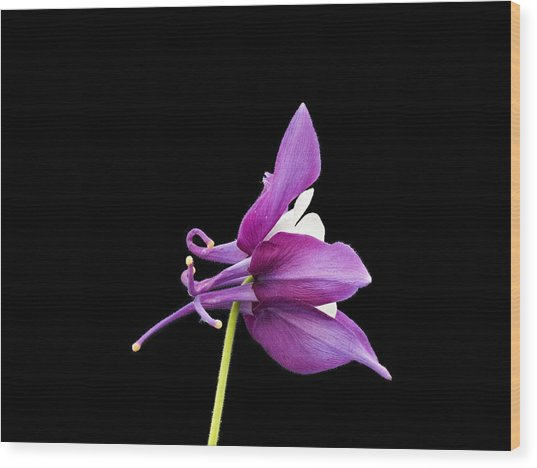 Wood Print featuring the photograph Aquilegia Hybrid by Paul Gulliver