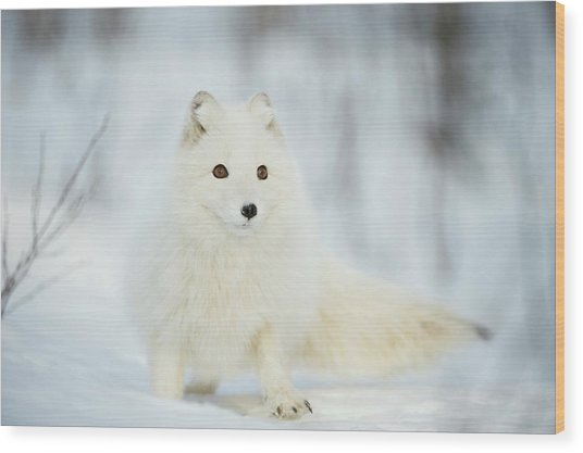 Arctic Fox In The Snow Wood Print by Dr P. Marazzi/science Photo Library