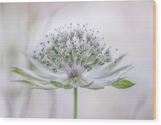 Astrantia Wood Print by Mandy Disher