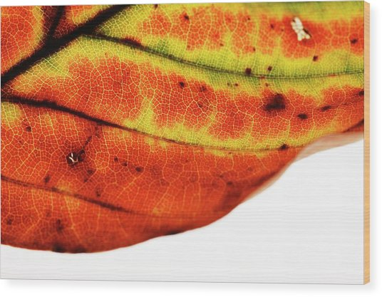 Backlit Autumnal Leaf Wood Print by Mauro Fermariello/science Photo Library