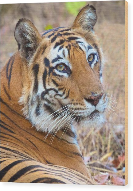 Bandhavgarh Tigeress Wood Print