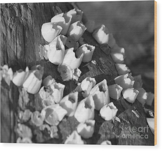 Barnacles 2 Wood Print
