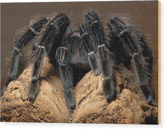 Bird-eating Spider Wood Print