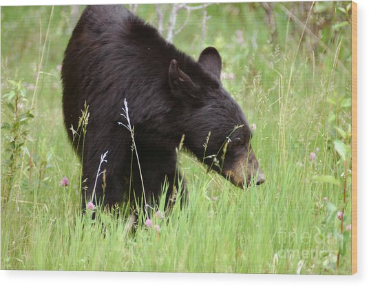 556p Black Bear Wood Print