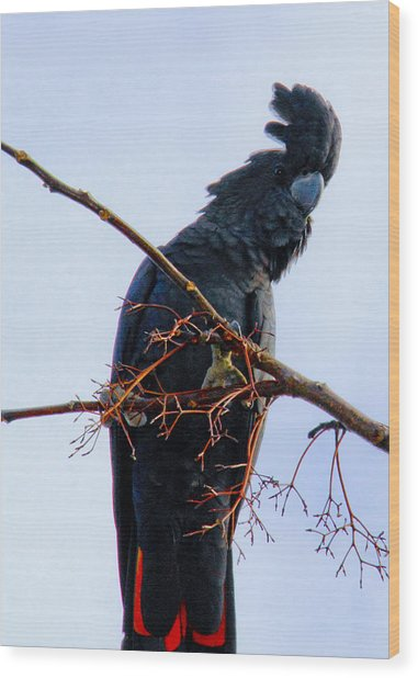 Wood Print featuring the photograph Black Cockatoo by Debbie Cundy