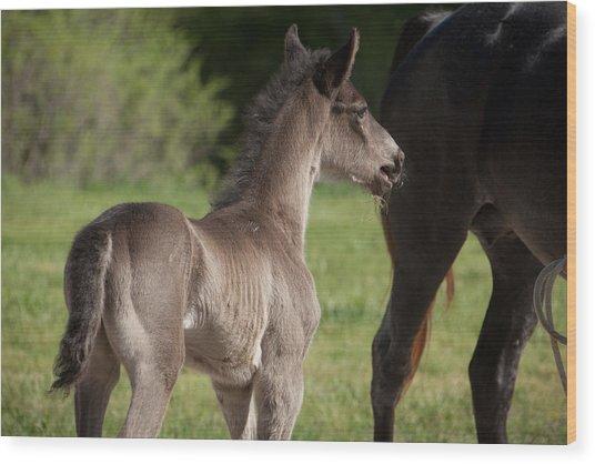 Black Foal Wood Print