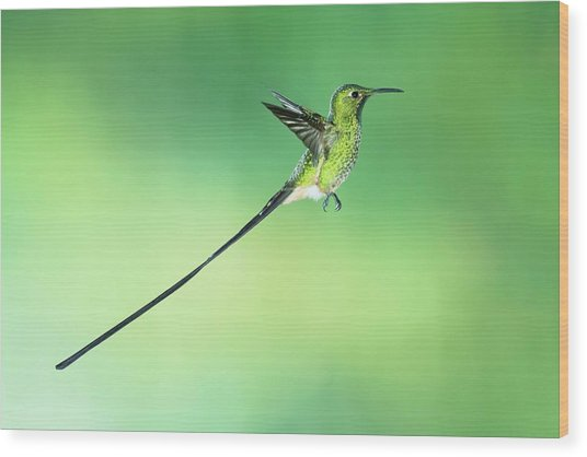 Black-tailed Trainbearer Hummingbird Wood Print by Tony Camacho/science Photo Library