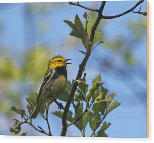 Black-throated Green Warbler Wood Print by Brian Magnier