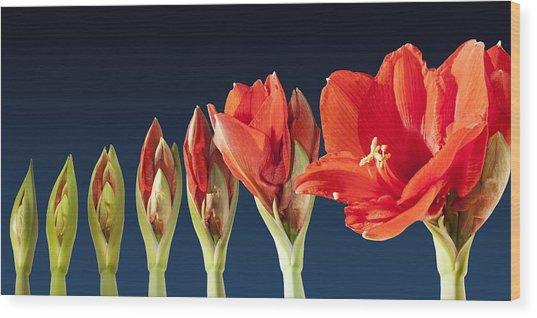 Blossoming Amaryllis Flower Wood Print