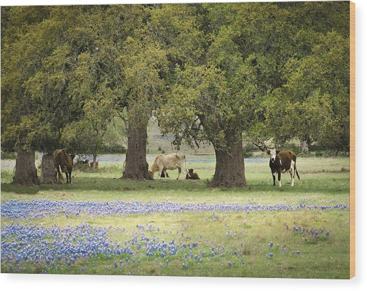 Bluebonnets And Bovines Wood Print