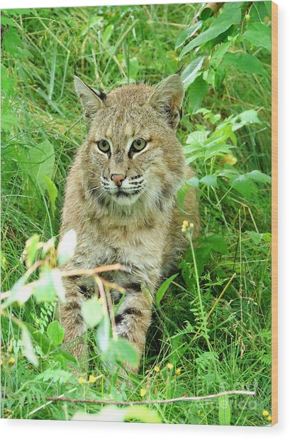 Bobcat Lynk Sitting In Grass Close-up Wood Print by Sylvie Bouchard