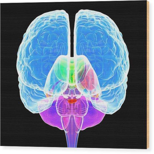 Brain Anatomy Wood Print by Roger Harris