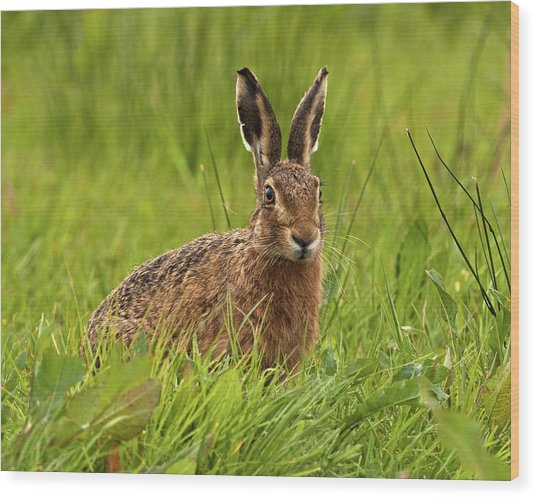 Brown Hare Wood Print by Paul Scoullar