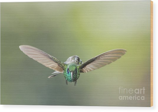 Brown Violet-ear Hummingbird Wood Print