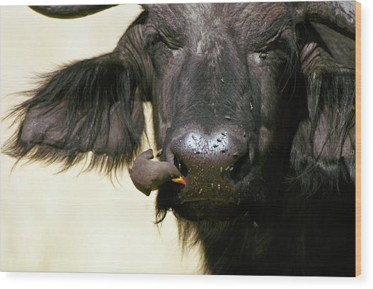 Cape Buffalo And Yellow-billed Oxpecker Wood Print by Dr P. Marazzi/science Photo Library
