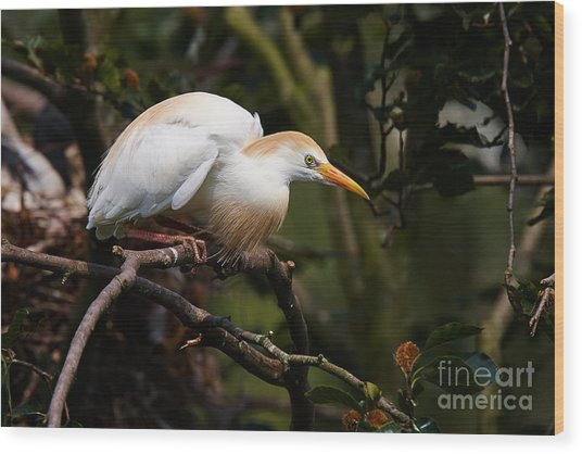 Cattle Egret In A Tree Wood Print