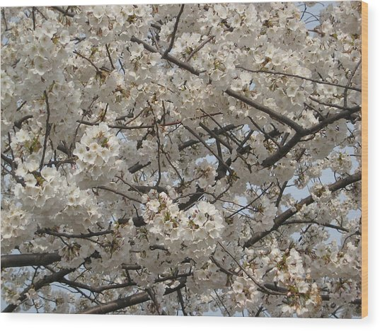 Cherry Blossoms Wood Print by DustyFootPhotography