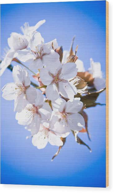 Cherry Tree Blossoms Close Up Wood Print
