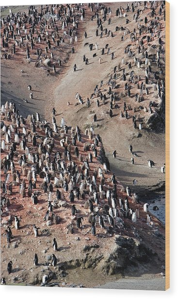 Chinstrap Penguin Colony Wood Print by William Ervin/science Photo Library