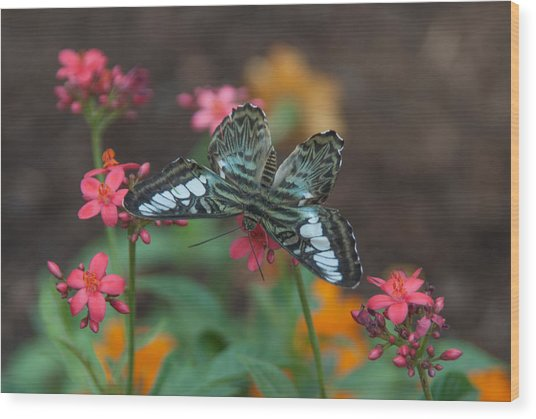 Clipper Butterfly 6150-052513-1cr Wood Print