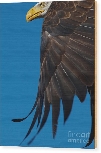 Close-up Of An American Bald Eagle In Flight Wood Print