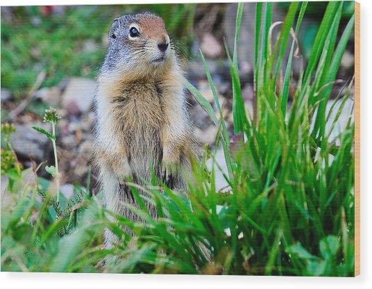 Columbian Ground Squirrel Wood Print