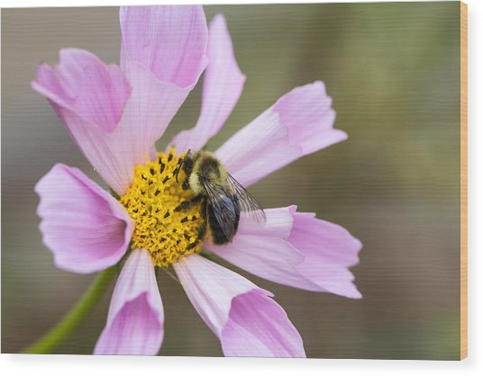 Cosmos And Bee Wood Print