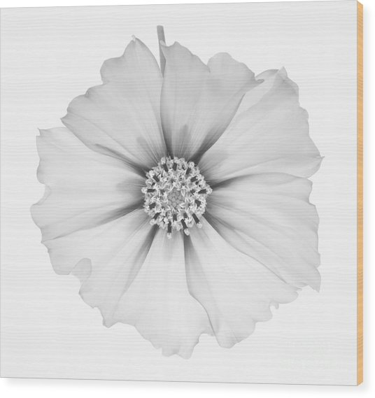 Cosmos Flower In Black And White. Wood Print by Rosemary Calvert