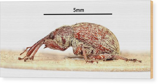 Cotton Boll Weevil Wood Print by Natural History Museum, London