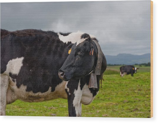 Cow Wearing Cowbell  Wood Print