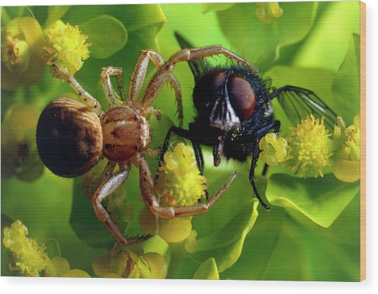 Crab Spider With Fly Wood Print by David Spears/science Photo Library