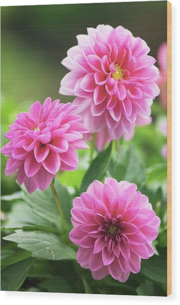 Dahlia Flowers Wood Print by Maria Mosolova/science Photo Library
