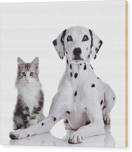 Dalmatian Dog And Norwegian Forest Cat Wood Print by Tetsuomorita