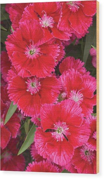 Dianthus 'summer Splash' Flowers Wood Print