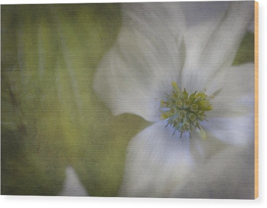 Dogwood Wood Print by Cindy Rubin
