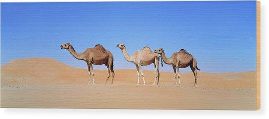 Dromedary Camel (camelus Dromedarius Wood Print