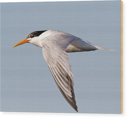 Elegant Tern Wood Print