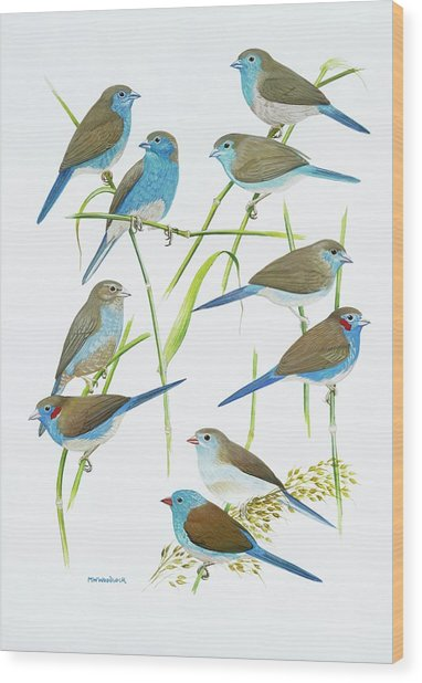Estrildid Finches Wood Print