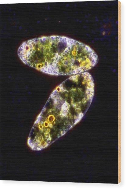 Euglena Protozoa, Light Micrograph Wood Print by Science Photo Library