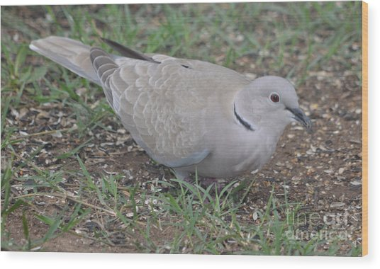 Eurasian Collared Dove  Wood Print by Ruth  Housley