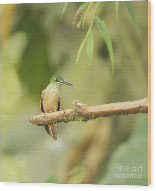 Fawn-breasted Brilliant Hummingbird Wood Print