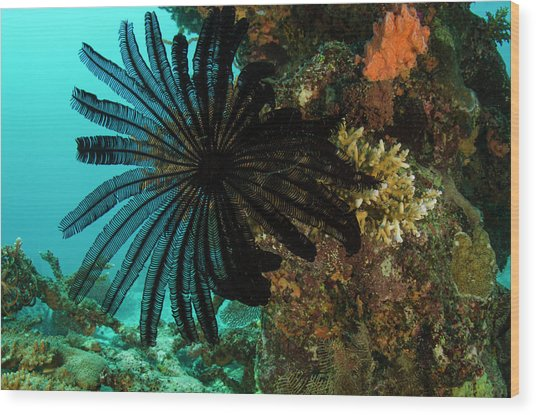 Feather Star (comasteridae Wood Print by Pete Oxford